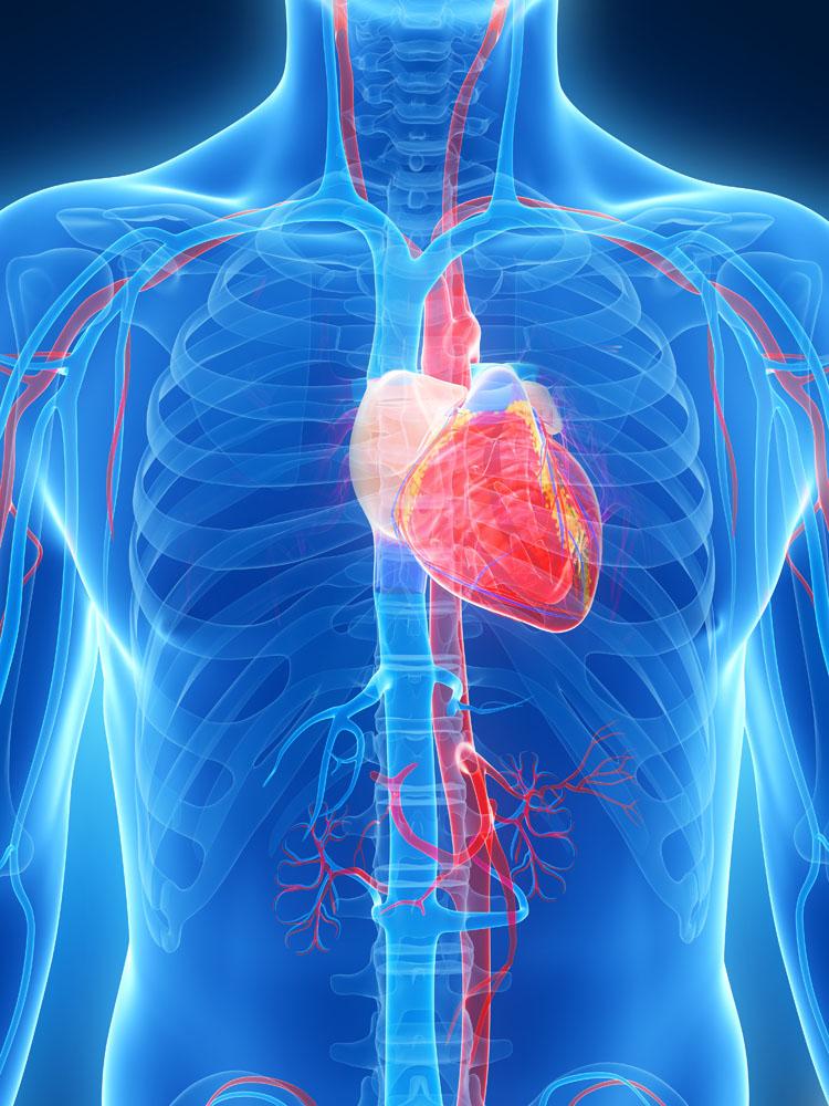 1.心脏。体内多余脂肪组织需要消耗更多的氧。这意味着心脏必须为脂肪组织提供更多的血氧。此外,动脉中脂肪堆积越多,动脉功能就越差,血管壁增厚,血流减少,不仅加重心脏负担,而且增加血栓和全身血液循环恶化的危险。研究发现,与健康人群相比,肥胖者动脉粥样硬化危险高10倍。 2.