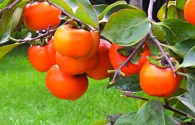 常见水果的营养和食疗作用