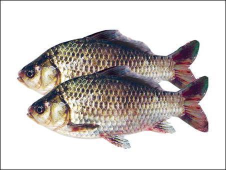 鲫鱼营养价值高,蛋白质含量丰富且质量高,容易被人体消化吸收,鲫鱼是