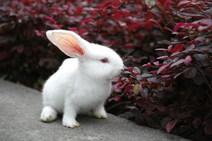 梦见小白兔在我枕边
