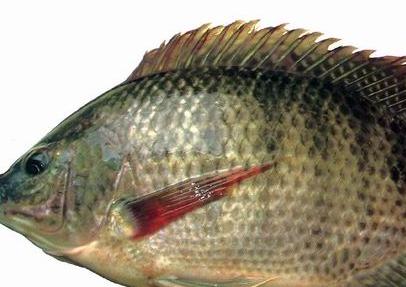 鱼脑解剖结构
