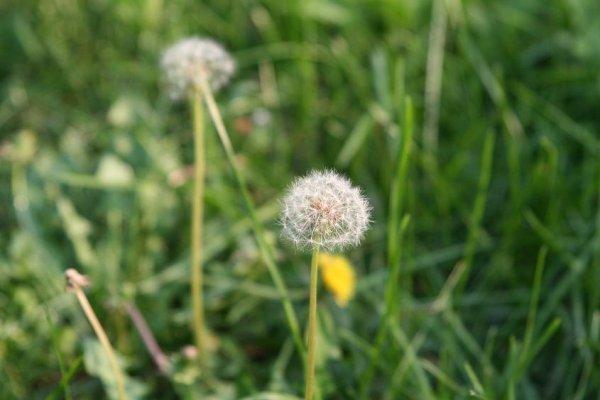 蒲公英玫瑰茶——蒲公英 玫瑰花 功效:调节内分泌,改善