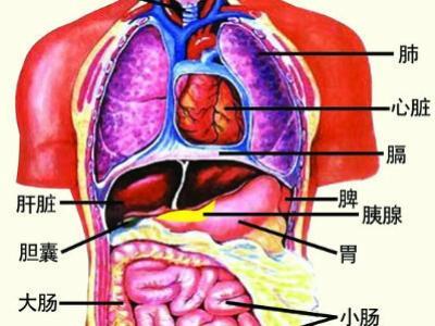 含人体器官_人体器官胰腺的功能和作用-