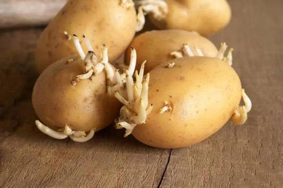 �槭裁窗l芽的土豆不能吃 看