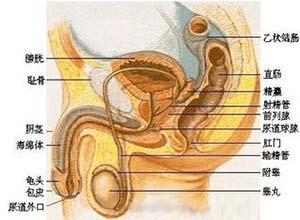 泌尿生殖系棘球蚴病