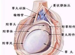 什么是睾丸炎