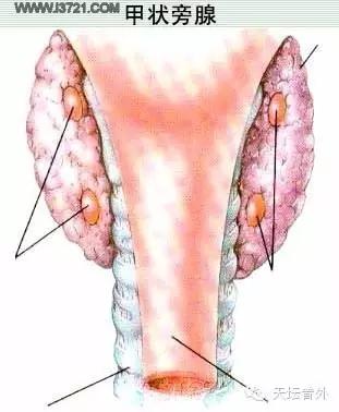 具有调节血钙水平的作用,大部分人共有四枚甲状旁腺,在进行甲状腺手术